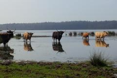 hooglanders in een nat natuurgebied